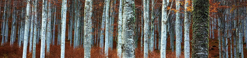 A photo of some birch tree trunks